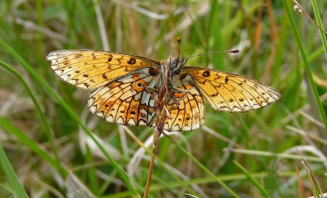 24564 - Small Pearl-Bordered Fritillary, Isle of Mull