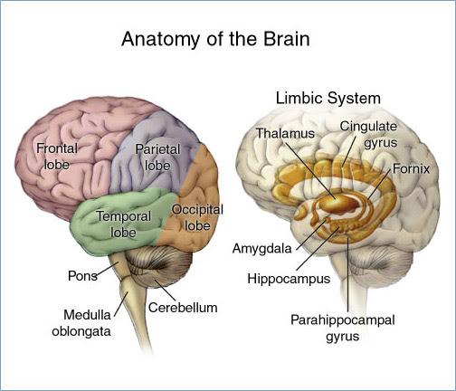 Fakta Mengenai Otak Manusia