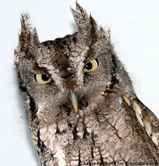 Archimedes the Eastern Screech-Owl