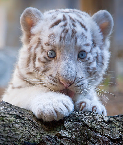 White tiger cub tampa's lowry park zoo Robert LaFollette rs