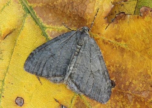1795/6/7 November Moth agg. (Epirrita sp.) by Peter Maton