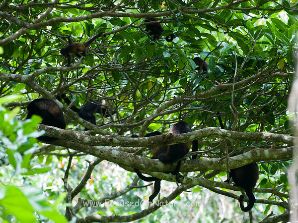 Mantled Howler Monkey Nursery