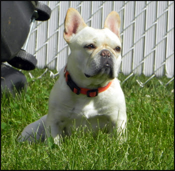 French Bulldog Breeders - Canada's Guide to Dogs - French ...