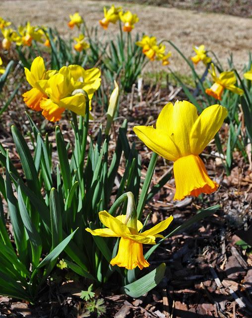 Narcissus Wednesday (11)