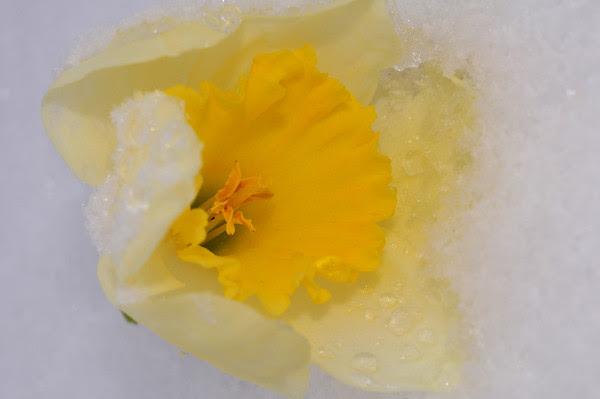 daffodil ice
