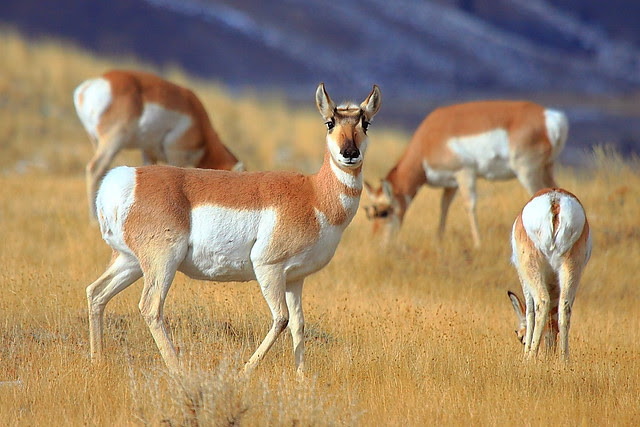 IMG_2697 Pronghorn, Gallatin National Forest