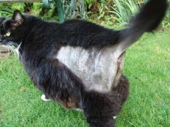 shaved cats