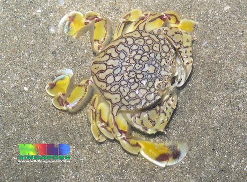 Reticulated moon crab (Matuta planipes)
