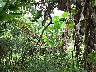 jungle et bananiers du Chiapas.jpg