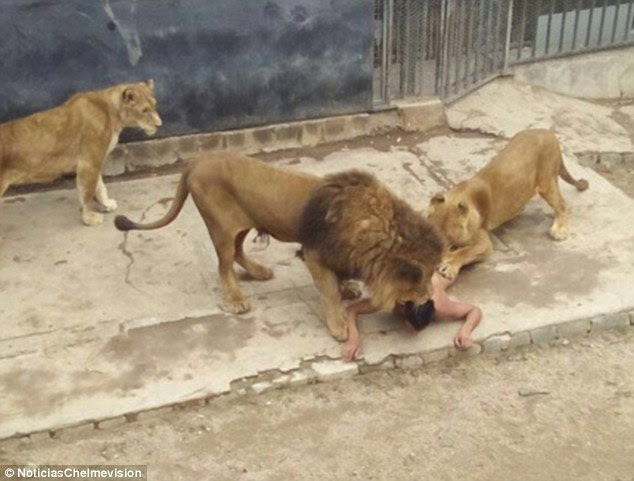 A 20-year-old man took off his clothes and broke into a lion enclosure at Santiago zoo Saturday, where he was mauled by lions