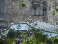 Red-Tailed Hawks at Cathedral of St. John the Divine