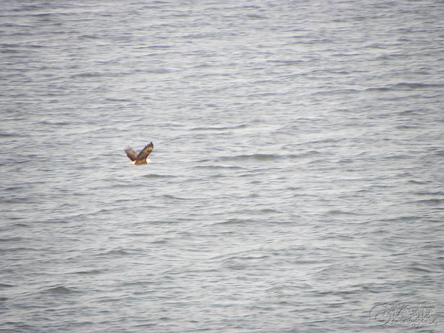 DSCN4757e Bald Eagle
