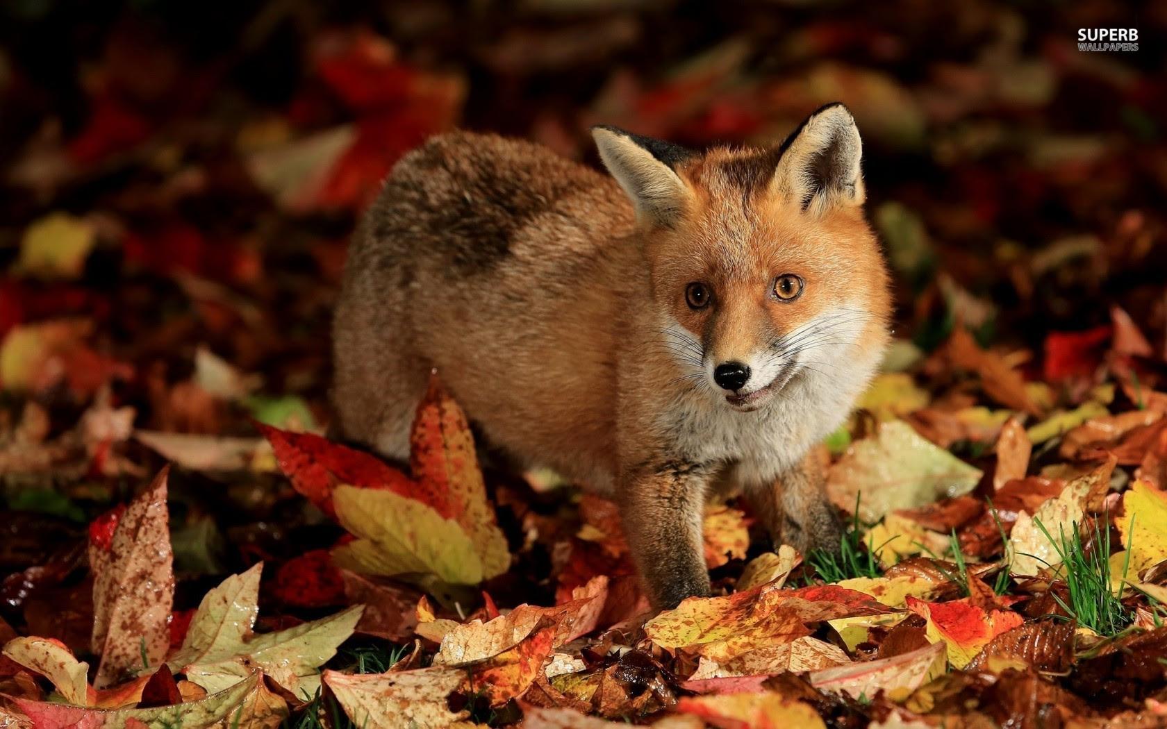 Cute Baby Fox Wallpaper - WallpaperSafari