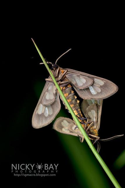 Tiger Moths mating (Arctiidae) - DSC_2053