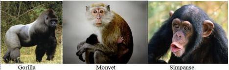 gorilla-monyet-dan-simpanse