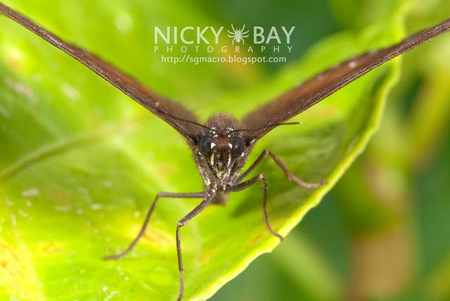 Malayan Eggfly? (Hypolimnas anomala ) - DSC_6417