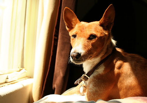 basenji at window