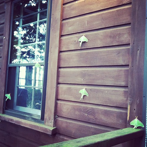 Five Luna moths greeted me on my return from an early morning run!