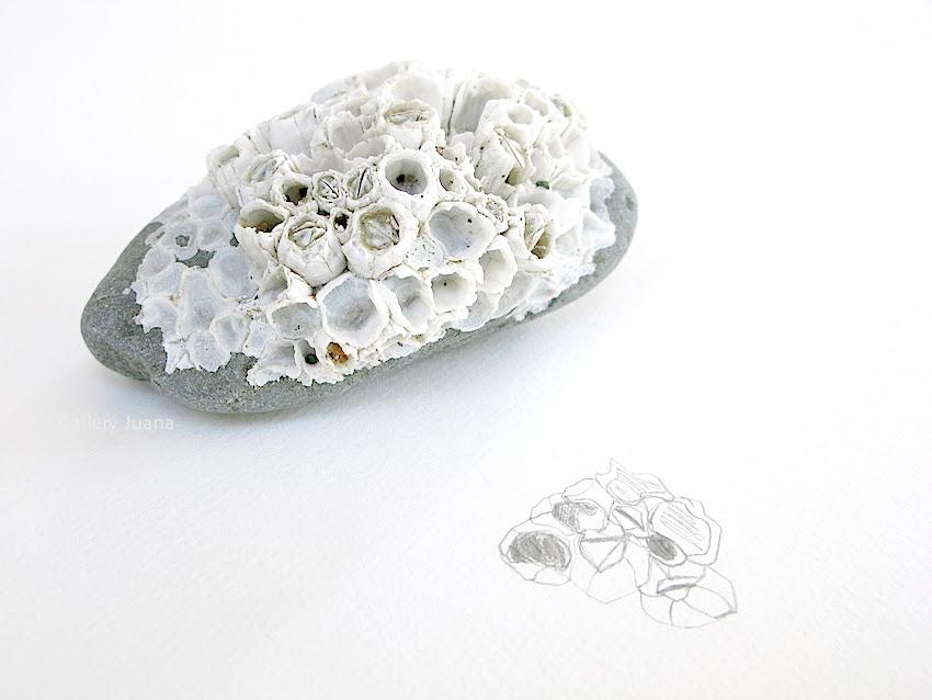 sea rock, barnacles and sketch