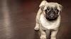 ¿Qué razas de perro son más propensas a tener cáncer?