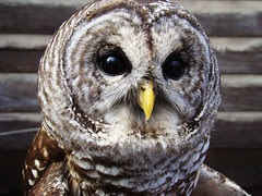 Owl expression