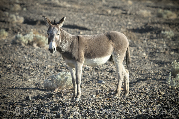 Wild burro in Panamint Valley