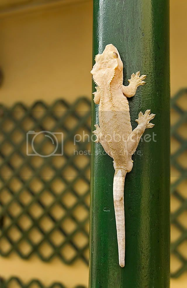 Crested Gecko or Rhacodactylus Ciliatus: Exotic Animals in Barcelona [enlarge]