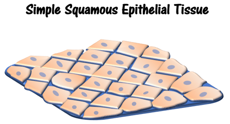 simple squamous epilthelium base_3