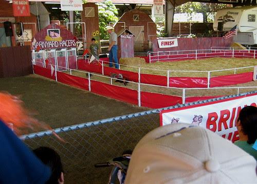 pigs racing