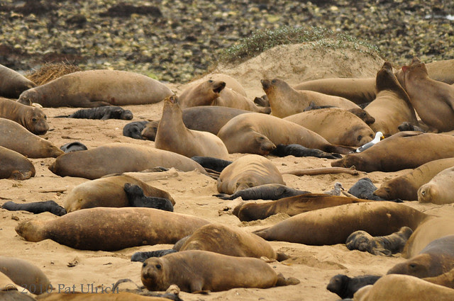 How many pups do you see? Northern elephant seals -- Pat Ulrich Wildlife and Nature Photography