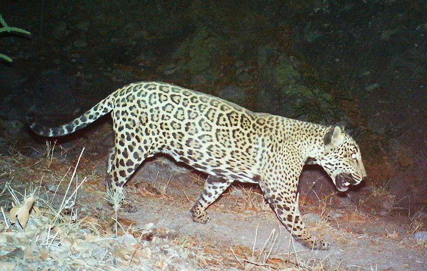 Sonoran wild jaguar