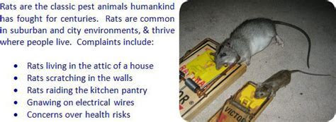 How to Get Rid of Rats in the Attic, House, Walls