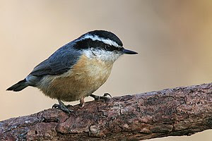 Red Breasted Nuthatch/Sitta Canadensis