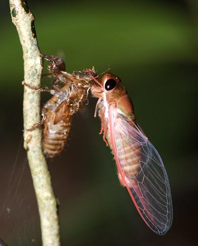 newly emerged cicada DSC_8781