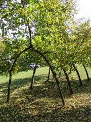Pleached arches