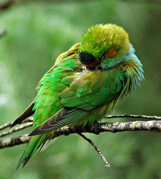 File:Purple-crowned Lorikeet.jpg