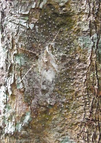 Mother lichen huntsman with her spiderling...R0016778 copy