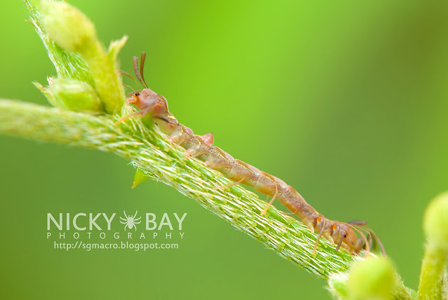 Owlet Moth larva (Homodes sp.) - DSC_2651