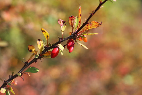 Thorn Berry