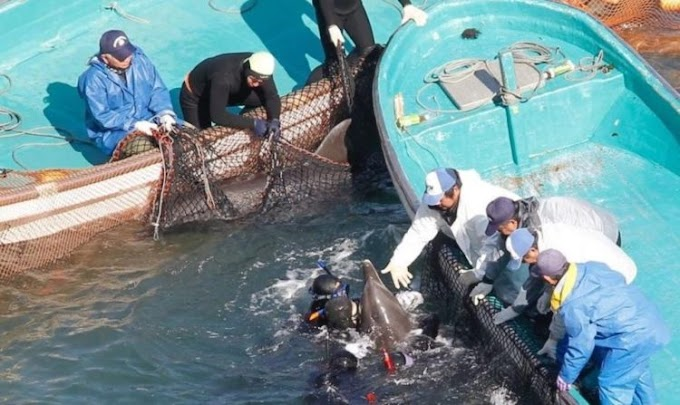 Delfines se frotan y consuelan tras varias horas siendo arrastrados antes de ser sacrificados