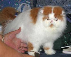 Persian Cats Cat Breed Persian Longhair Longhair Cat