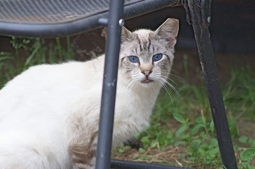 Feral Cat w/Eartip