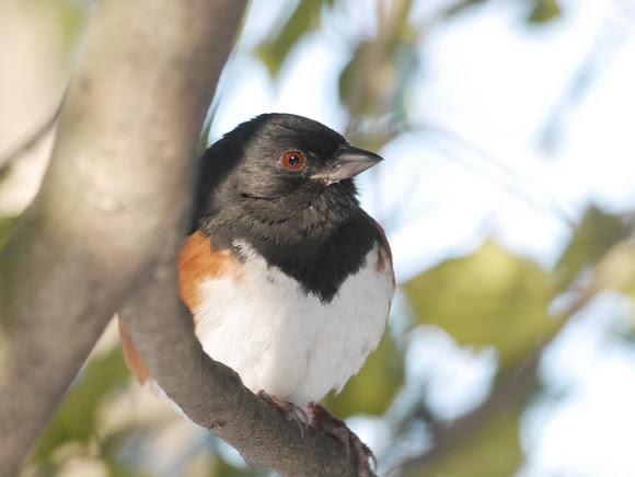 Ed Gaillard: recent &emdash; Eastern Towhee, Central Park