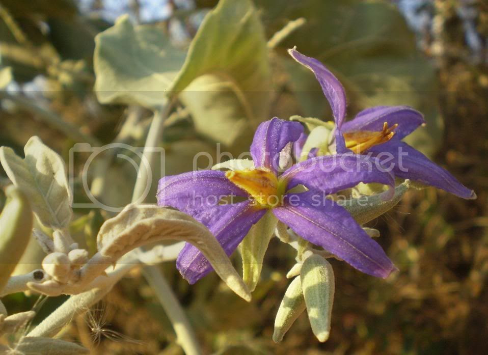 Flores de Fruta de Lobo-3