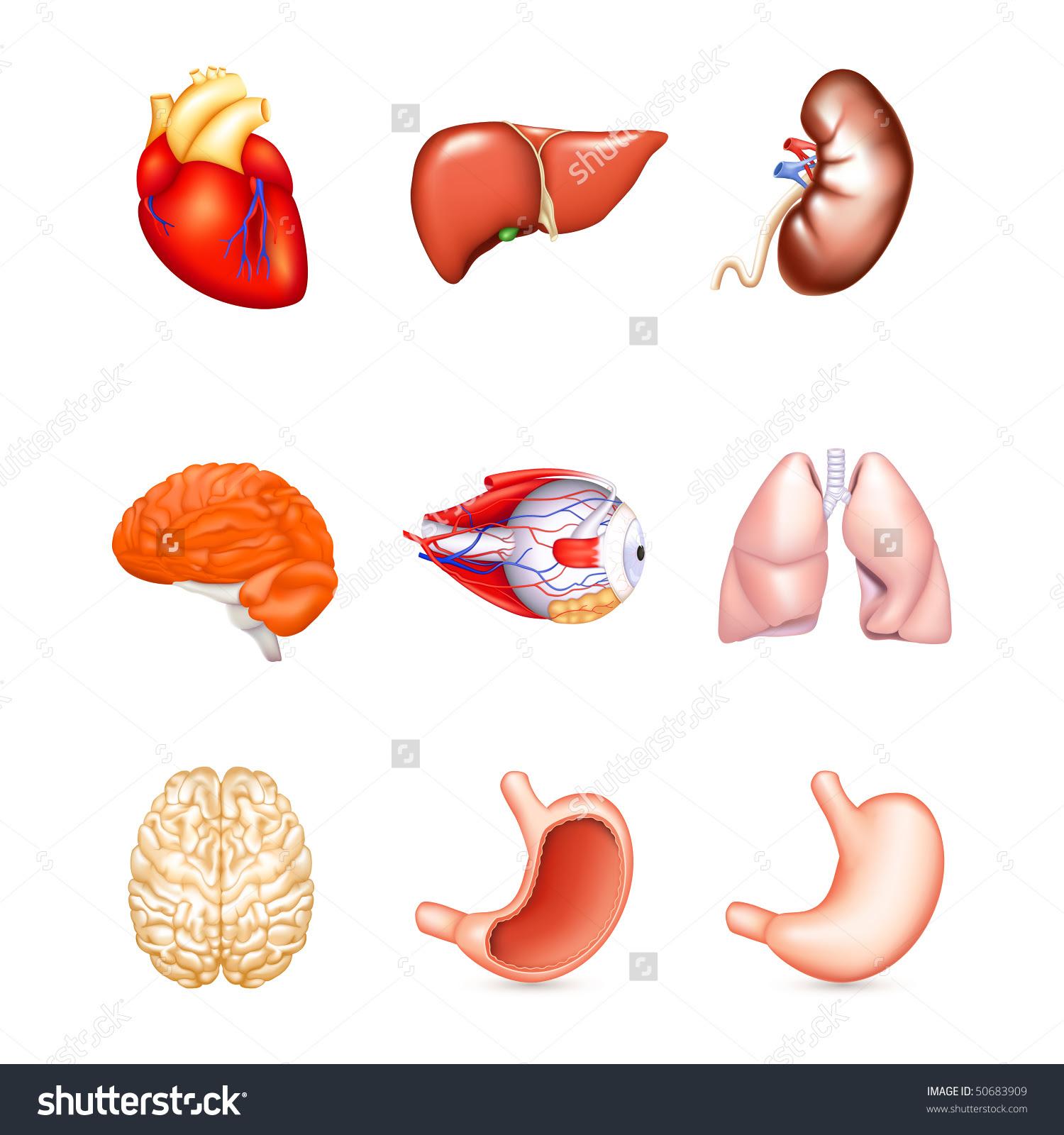 Human Internal Organ Clipart 20 Free Cliparts Download