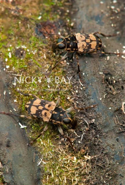 Conversation between 2 Fungus Weevils