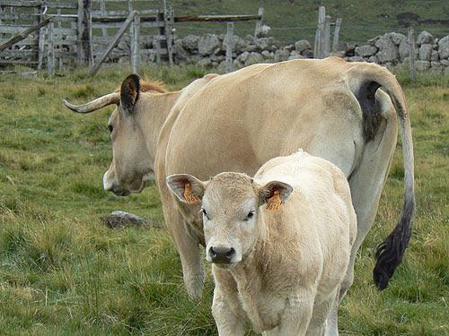 vache derrière son veau.jpg