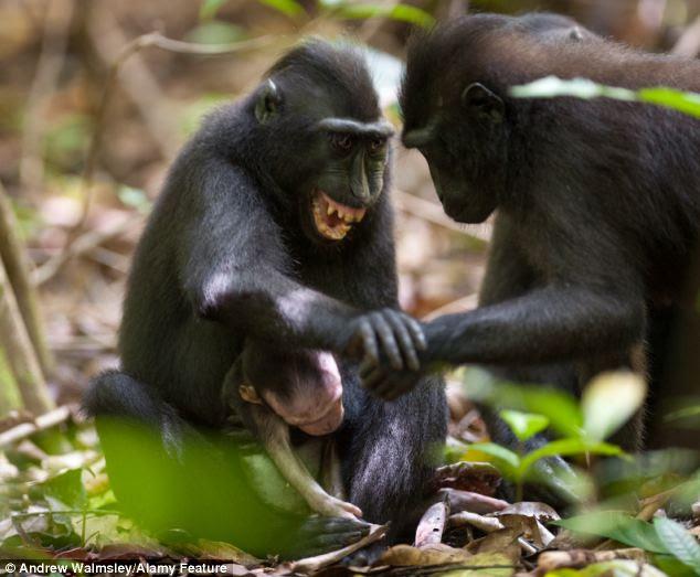 Addolorato: La madre ha passato giorni portando in giro il suo piccolo bambino alla Riserva Naturale Tangkoko e il Parco Nazionale di Sulawesi.  Ha anche difendeva un macaco uomo che ha cercato di raggiungere e toccare il bambino (foto)
