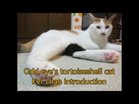 Most Wanted Odd eye s tortoiseshell cat Kei chan introduction, Video Tortoise Shell Cat with Green Eyes paling dicari!