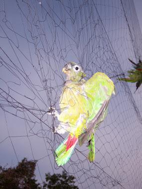 <p>La captura para el comercio local e internacional es una de las amenazas principales sobre estas aves tropicales / Igor Berkunsky</p>